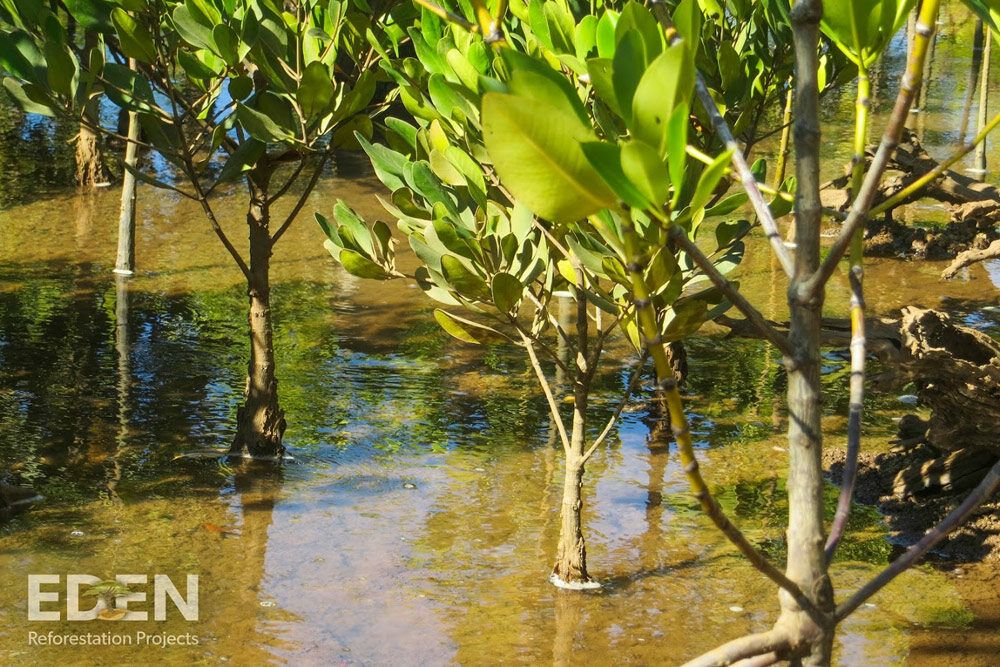 Eden-Madagascar_2013_Young-mangroves-closeup
