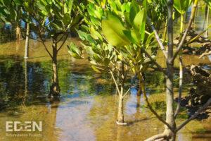 Eden-Madagascar_2013_Young-mangroves-closeup