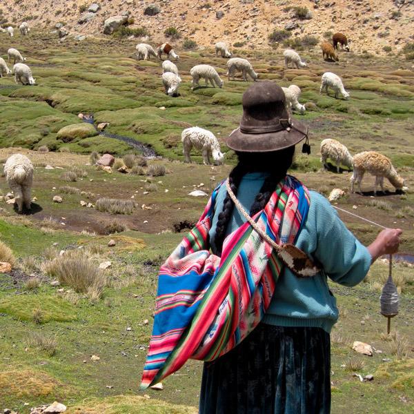 Alpaka in den Anden