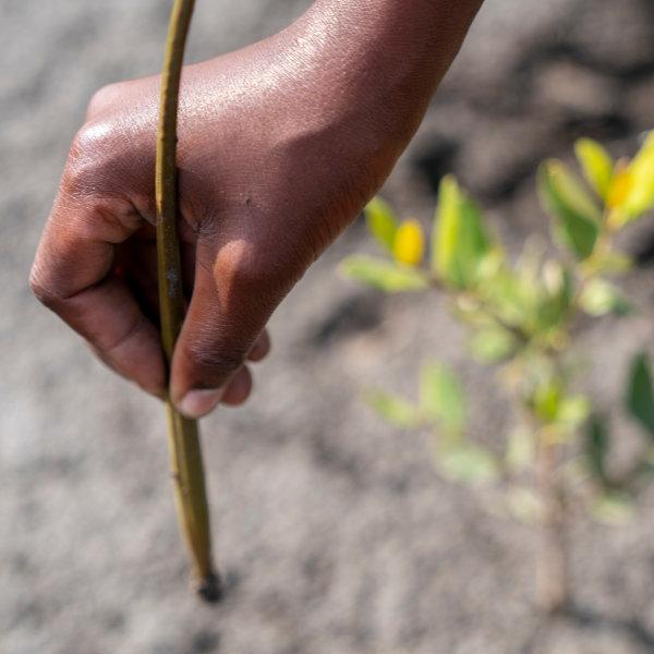 Pflanzung von Mangrovenbäumen in Mosambik